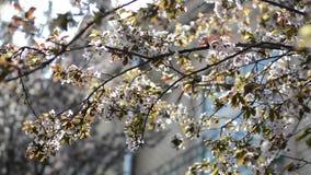 Viele rosa Kirschblumen auf den Bäumen an einem sonnigen Tag stock video