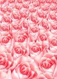 Viele rosa Rosen, die Beschaffenheit der Blumen, Kopienraum Stockbilder