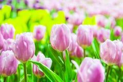 Viele rosa u. weiße Tulpen lizenzfreies stockfoto