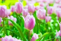 Viele rosa u. weiße Tulpen stockfoto