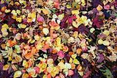 Viele rosafarbenen Blumenblätter Lizenzfreies Stockfoto