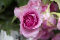 Viele Rosen werden in den Reihen vereinbart Stockfotos