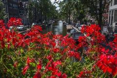 Viele Rotblumen mit Amsterdam-Kanal stockbilder