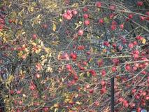 Viele roten Äpfel, wenige Blätter im Baum stockfotografie