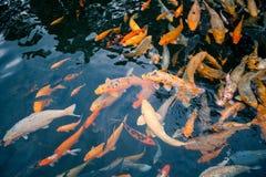 Viele roten Fische in der Teichnahaufnahme Stockfotos