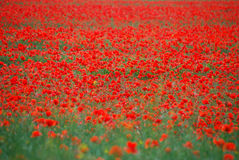 Viele roten Mohnblumen Stockfotos