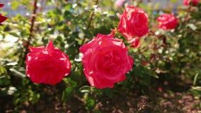 Viele roten Rosen im Wind im Garten stock footage