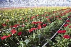 Viele roten und gelben Blumen im niederländischen Gewächshaus Stockfoto