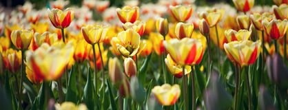 Viele roten und gelben Tulpen Stockfotos