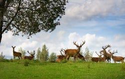 Viele Rotwild in den wild lebenden Tieren Lizenzfreie Stockfotografie