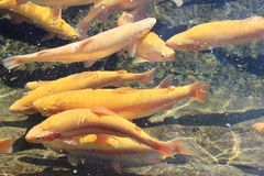 Viele ruhigen gelben sich hin- und herbewegenden Fische, Forellenlandwirtschaft Lizenzfreie Stockbilder