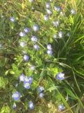 Viele schönen blauen kleinen Blumen im Vorfrühling lizenzfreie stockfotos