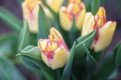 Viele schönen gelben niederländischen Tulpen im Garten stockbilder