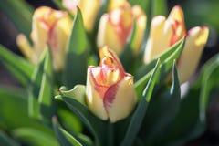 Viele schönen gelben niederländischen Tulpen im Garten stockfoto