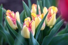 Viele schönen gelben Tulpen im Garten lizenzfreie stockbilder