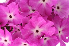 Viele schönen rosafarbenen Blumen Stockbilder