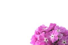 Viele schönen rosafarbenen Blumen Lizenzfreies Stockbild