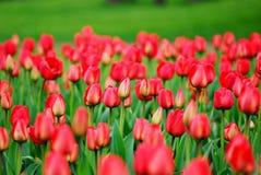 Viele schönen roten Tulpen. Lizenzfreie Stockfotografie