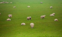 Viele schönen Schafe weiden auf dem grünen Gebiet Lizenzfreie Stockfotos