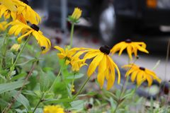 viele schönen schwarz-äugigen Susan-Blumen lizenzfreie stockbilder