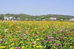 Viele schönen wilden Chrysanthemenblumen stockfotos