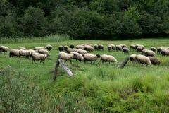Viele Schafe in einem grünen Paster Lizenzfreie Stockfotos