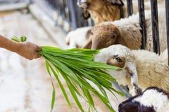 Viele Schafe im Käfig Gras von einer Handfrau essend Lizenzfreie Stockbilder