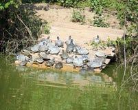 viele Schildkröten, die auf den Banken des Teichs sich sonnen Lizenzfreie Stockfotografie