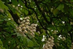 Viele Schimmelskastanienblumen - Aesculus hippocastanum Stockfoto