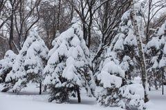 Viele Schnee auf Niederlassungen von Fichten im Winter stockfotografie