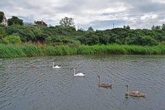 Viele Schwäne, die auf den See schwimmen Stockbild