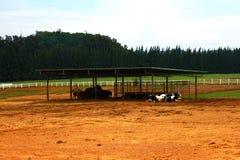 Viele Schwarzweiss-Kühe, die in einem Bauernhof liegen Lizenzfreies Stockbild