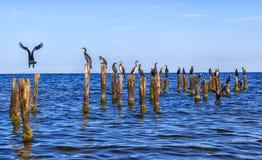 Viele Seemöwen sitzen auf Stangen in der Ostsee Lizenzfreies Stockfoto