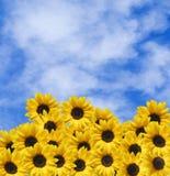 Viele Sonnenblumen und blauer Himmel mit Wolken Stockfotos