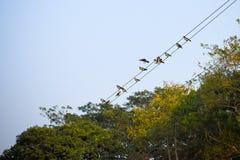Viele Spatzen oder Familie von kleinen passerine wahren Spatzen der Vögel alias, Spatzenvögel der Alten Welt, die auf einer elekt stockfotografie