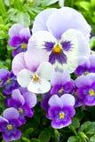 Viele Stiefmütterchenblumen Stockbilder