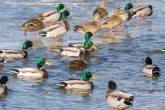 Viele Stockenten auf einem teilweise gefrorenen See im Wasser und auf dem Eis stockfotos