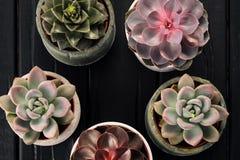 Viele Töpfe, weißes keramisches, grau und konkret mit Anlagensucculents von rotem lila und grün Stehen Sie in Folge, Form stockbilder