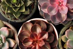 Viele Töpfe, weißes keramisches, grau und konkret mit Anlagensucculents von rotem lila und grün Stehen Sie in Folge, Form lizenzfreie stockbilder