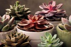 Viele Töpfe, weißes keramisches, grau und konkret mit Anlagensucculents von rotem lila und grün Stehen Sie in Folge, Form lizenzfreies stockbild