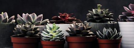 Viele Töpfe, weißes keramisches, grau und konkret mit Anlagensucculents von rotem lila und grün Stehen Sie in Folge, Form stockfoto