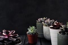 Viele Töpfe, weißes keramisches, grau und konkret mit Anlagensucculents von rotem lila und grün Stehen Sie in Folge, Form stockfotografie