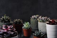 Viele Töpfe, weißes keramisches, grau und konkret mit Anlagensucculents von rotem lila und grün Stehen Sie in Folge, Form lizenzfreie stockfotografie
