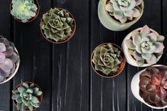 Viele Töpfe, weißes keramisches, grau und konkret mit Anlagensucculents von rotem lila und grün Stehen Sie in Folge, Form stockbild