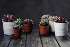 Viele Töpfe, weißes keramisches, grau und konkret mit Anlagensucculents von rotem lila und grün Stehen Sie in Folge, Form stockfotos