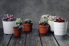 Viele Töpfe, weißes keramisches, grau und konkret mit Anlagensucculents von rotem lila und grün Stehen Sie in Folge, Form lizenzfreies stockfoto