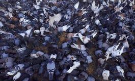 Viele Tauben, die Körner essen Stockfoto