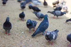 Viele Tauben essen Brot auf dem Boden Stockfoto