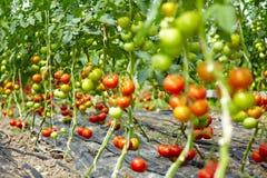 Viele Tomaten in einem Gewächshaus Lizenzfreies Stockfoto