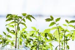 Viele Trieb der Tomatenpflanze Lizenzfreie Stockbilder